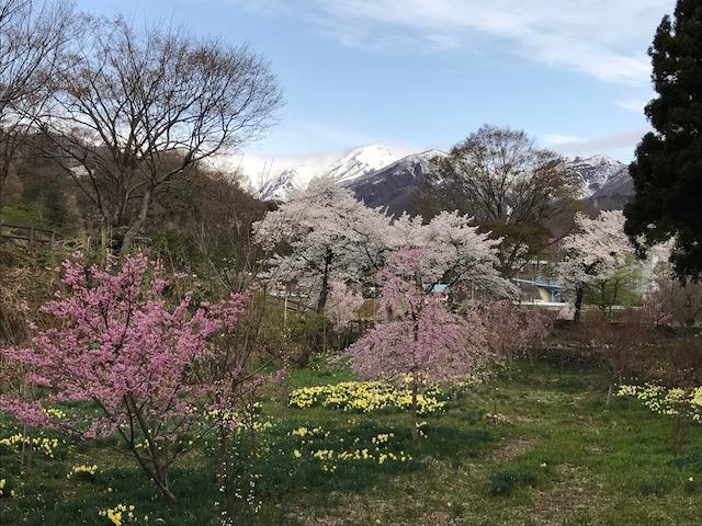 桜見頃です。