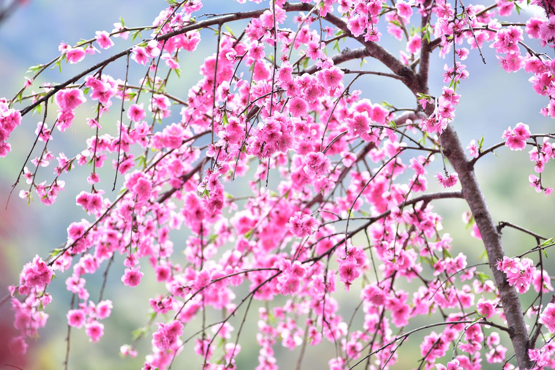 八重桜  春