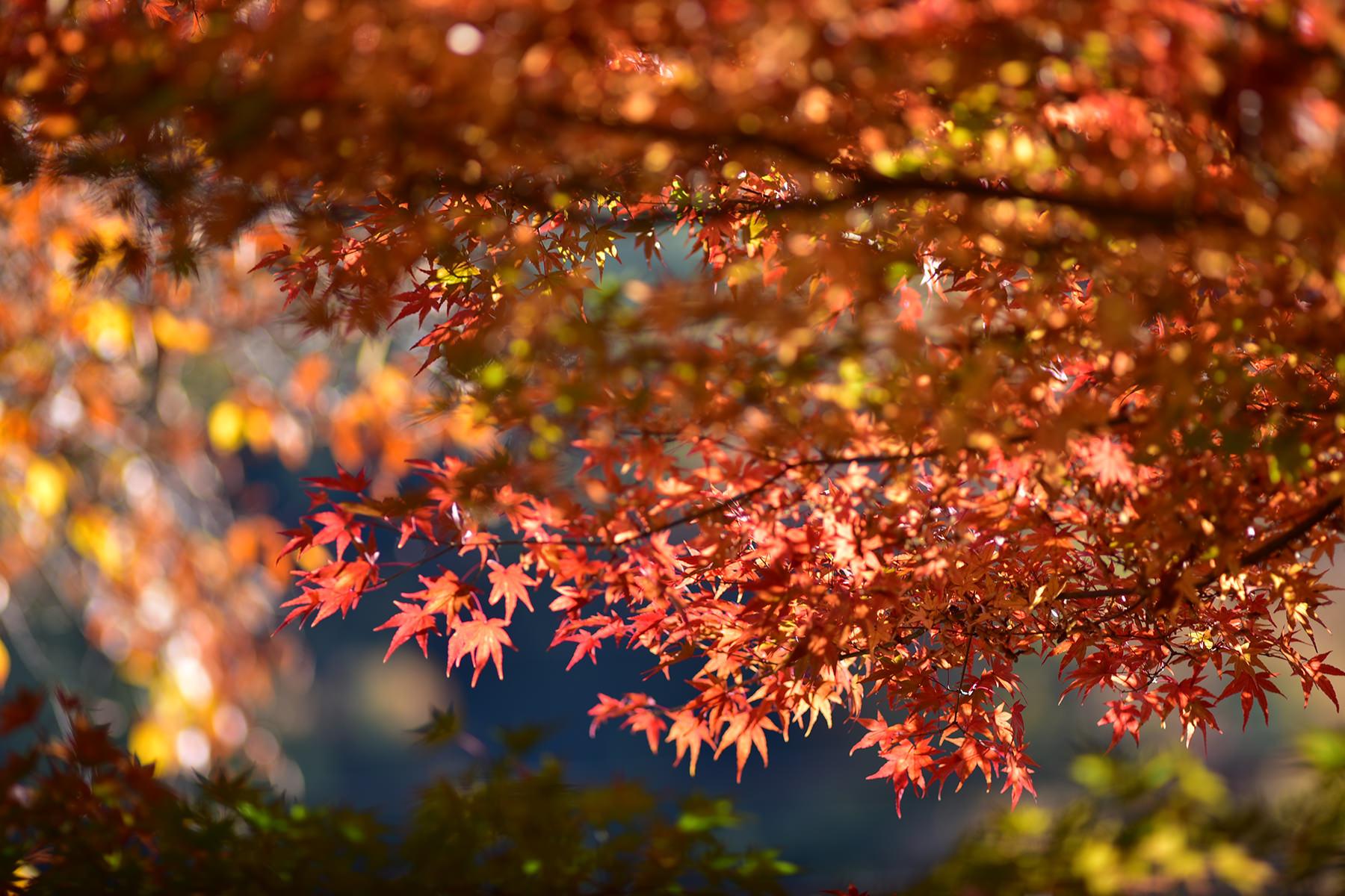 秋-1 紅葉